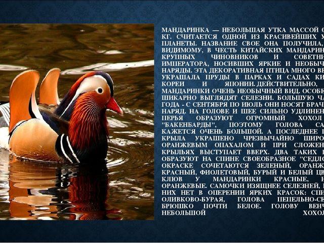МАНДАРИНКА — НЕБОЛЬШАЯ УТКА МАССОЙ 0,4-0,7 КГ. СЧИТАЕТСЯ ОДНОЙ ИЗ КРАСИВЕЙШИХ...