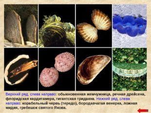 Верхний ряд, слева направо: обыкновенная жемчужница, речная дрейсена, флоридс