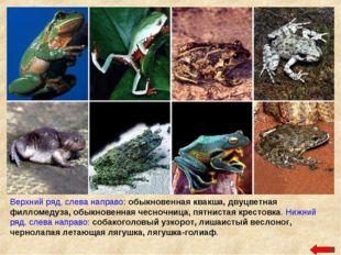 Верхний ряд, слева направо: обыкновенная квакша, двуцветная филломедуза, обык