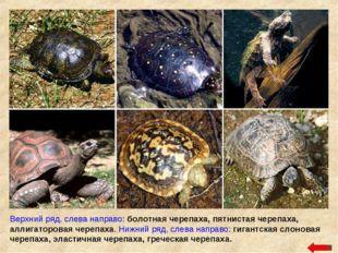 Верхний ряд, слева направо: болотная черепаха, пятнистая черепаха, аллигаторо