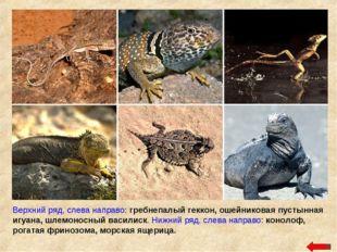 Верхний ряд, слева направо: гребнепалый геккон, ошейниковая пустынная игуана,