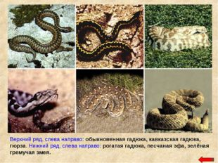 Верхний ряд, слева направо: обыкновенная гадюка, кавказская гадюка, гюрза. Ни