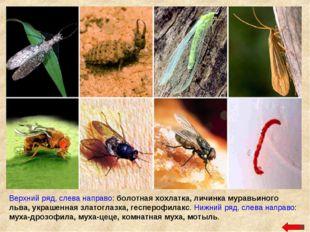 Верхний ряд, слева направо: болотная хохлатка, личинка муравьиного льва, укра