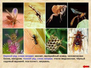 Верхний ряд, слева направо: москит, малярийный комар, человеческая блоха, нае