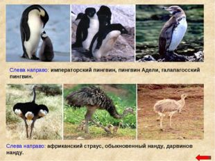 Слева направо: императорский пингвин, пингвин Адели, галапагосский пингвин. С
