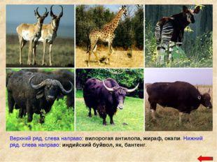 Верхний ряд, слева направо: вилорогая антилопа, жираф, окапи. Нижний ряд, сле