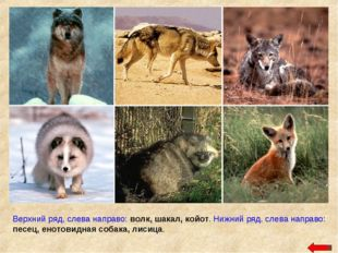 Верхний ряд, слева направо: волк, шакал, койот. Нижний ряд, слева направо: пе