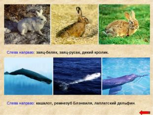 Слева направо: заяц-беляк, заяц-русак, дикий кролик. Слева направо: кашалот,