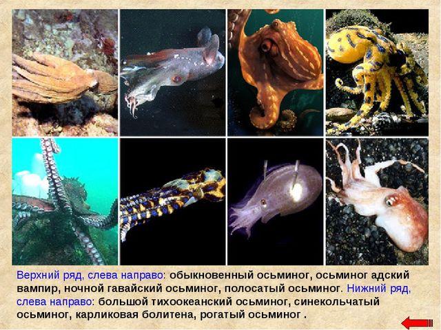 Верхний ряд, слева направо: обыкновенный осьминог, осьминог адский вампир, но...