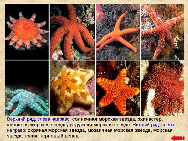 Верхний ряд, слева направо: солнечная морская звезда, эхинастер, кровавая мор...