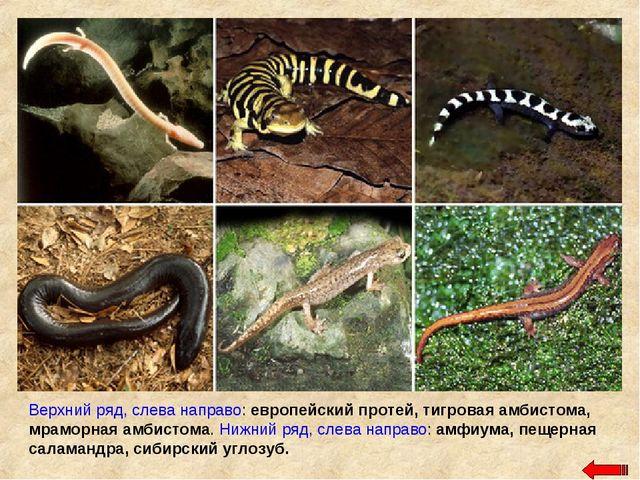 Верхний ряд, слева направо: европейский протей, тигровая амбистома, мраморная...