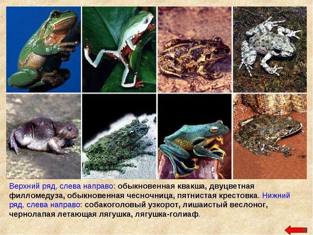 Верхний ряд, слева направо: обыкновенная квакша, двуцветная филломедуза, обык...