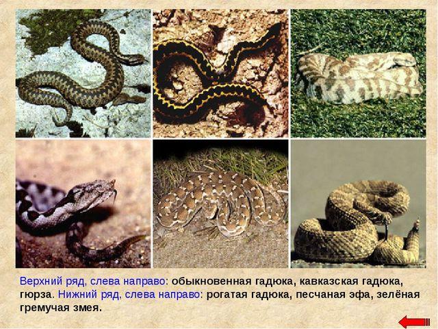 Верхний ряд, слева направо: обыкновенная гадюка, кавказская гадюка, гюрза. Ни...