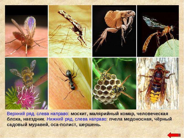 Верхний ряд, слева направо: москит, малярийный комар, человеческая блоха, нае...
