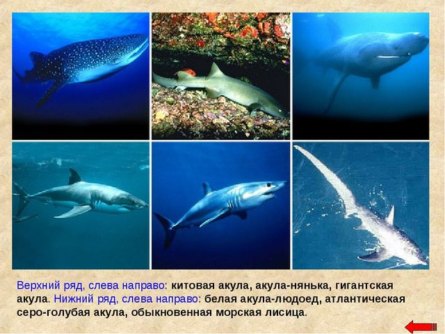 Верхний ряд, слева направо: китовая акула, акула-нянька, гигантская акула. Ни...