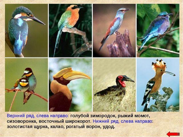 Верхний ряд, слева направо: голубой зимородок, рыжий момот, сизоворонка, вост...