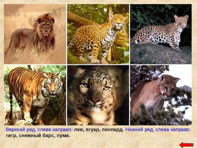 Верхний ряд, слева направо: лев, ягуар, леопард. Нижний ряд, слева направо: т...