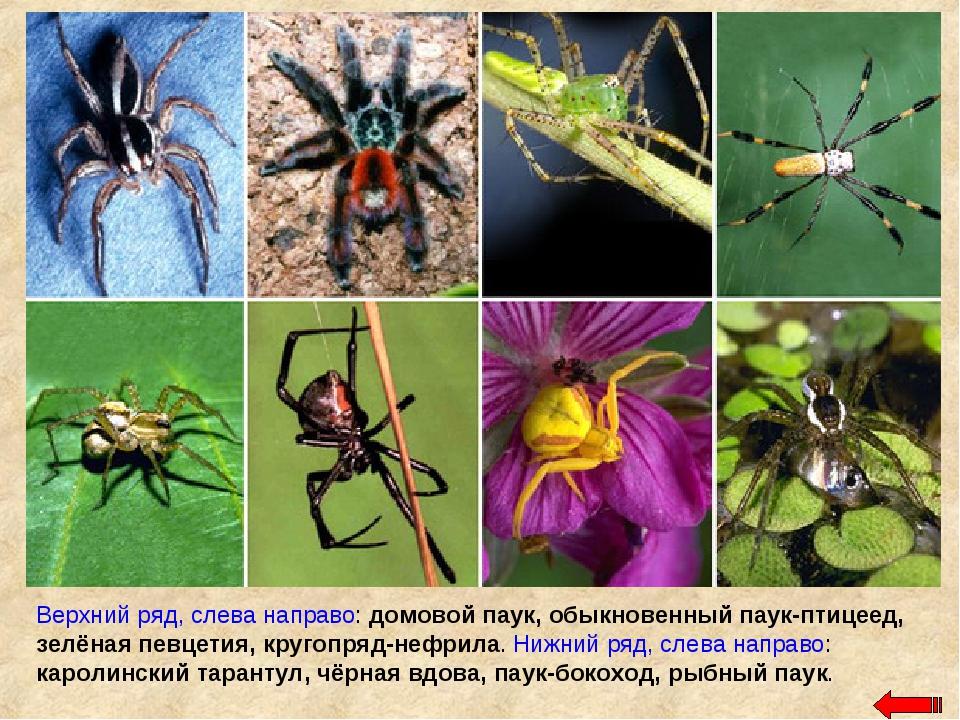 Верхний ряд, слева направо: домовой паук, обыкновенный паук-птицеед, зелёная...