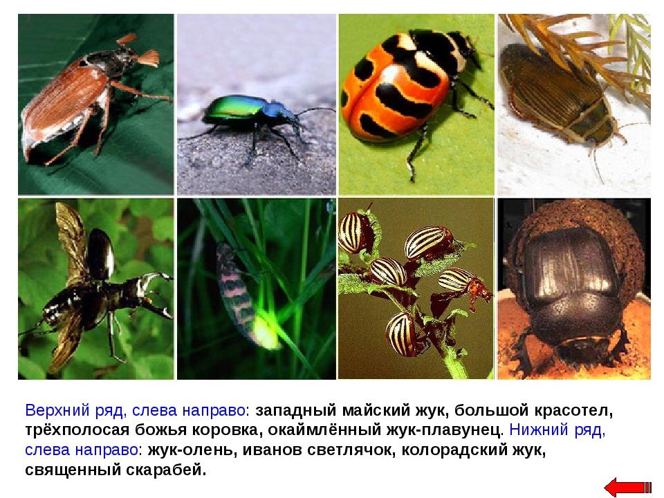 Верхний ряд, слева направо: западный майский жук, большой красотел, трёхполос...