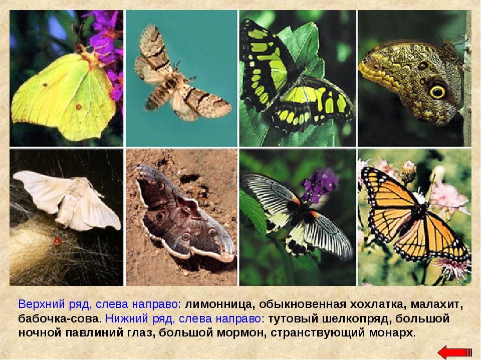 Верхний ряд, слева направо: лимонница, обыкновенная хохлатка, малахит, бабочк...