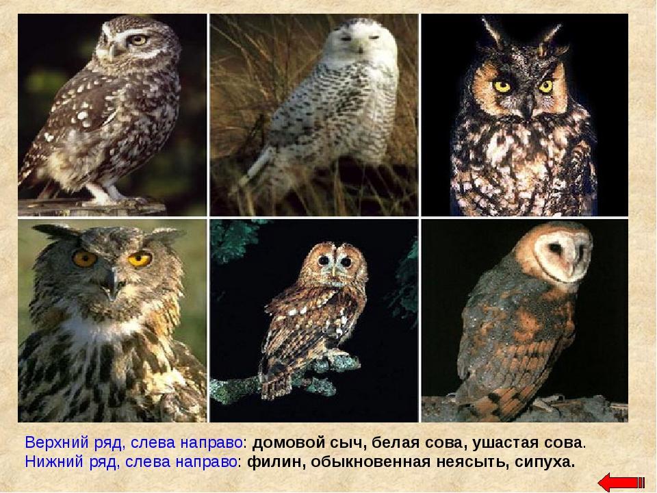 Верхний ряд, слева направо: домовой сыч, белая сова, ушастая сова. Нижний ряд...