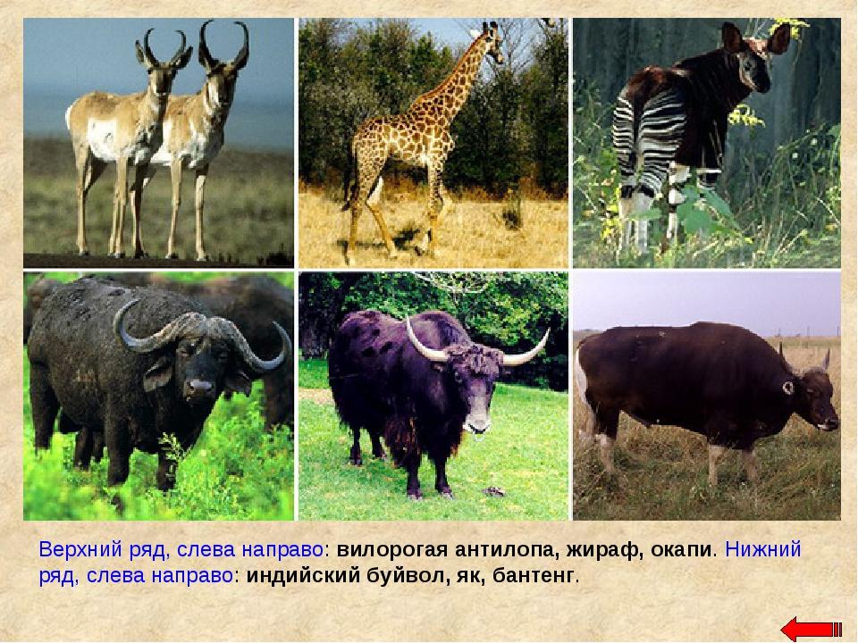 Верхний ряд, слева направо: вилорогая антилопа, жираф, окапи. Нижний ряд, сле...