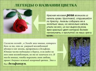 ЛЕГЕНДЫ О НАЗВАНИИ ЦВЕТКА Красная моховая роза возникла из капель крови Христ
