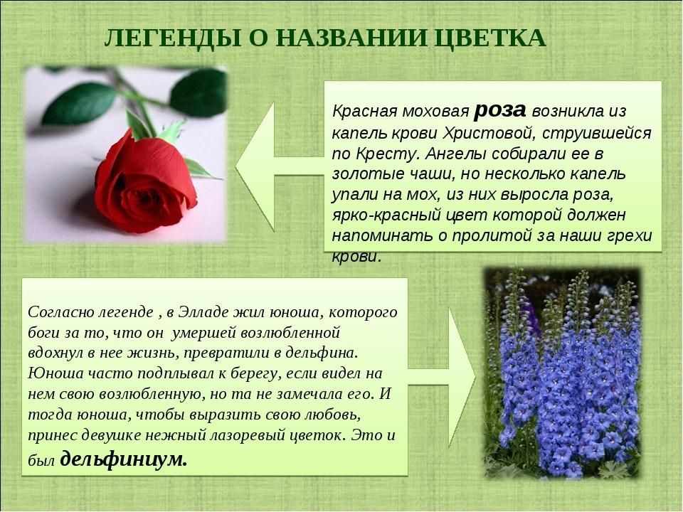 ЛЕГЕНДЫ О НАЗВАНИИ ЦВЕТКА Красная моховая роза возникла из капель крови Христ...