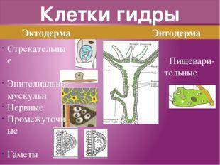 Клетки гидры Эктодерма Энтодерма Стрекательные Эпителиально-мускульн Нервные