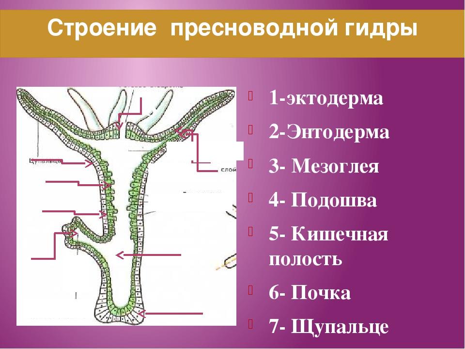 Строение пресноводной гидры 1-эктодерма 2-Энтодерма 3- Мезоглея 4- Подошва 5-...