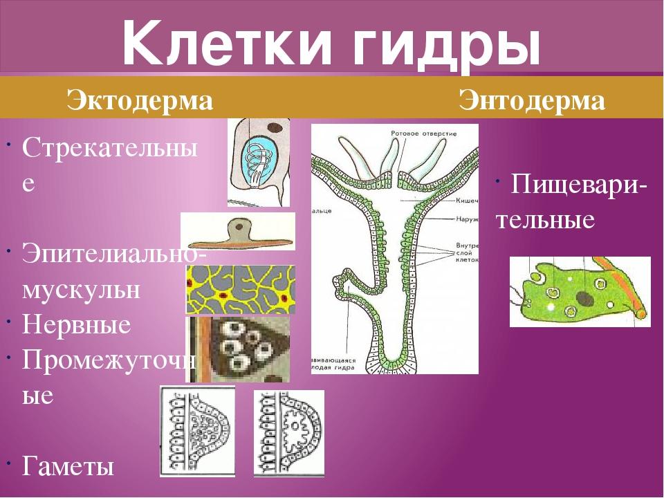 Клетки гидры Эктодерма Энтодерма Стрекательные Эпителиально-мускульн Нервные...