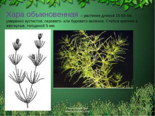 * Free template from www.brainybetty.com * Хара обыкновенная – растение длино