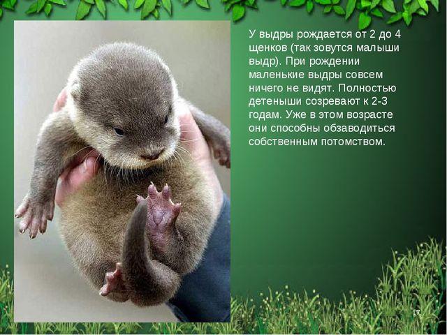 * * У выдры рождается от 2 до 4 щенков (так зовутся малыши выдр). При рождени...