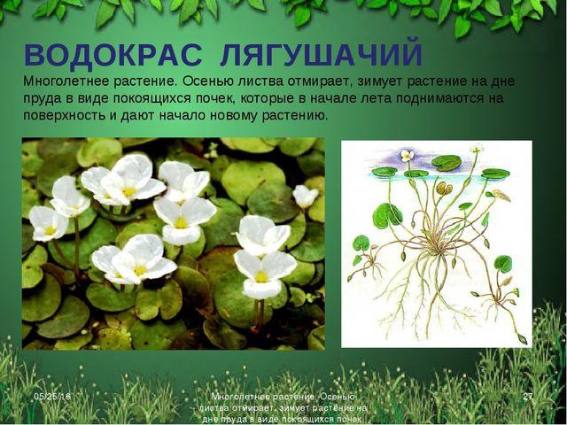 * Многолетнее растение. Осенью листва отмирает, зимует растение на дне пруда...