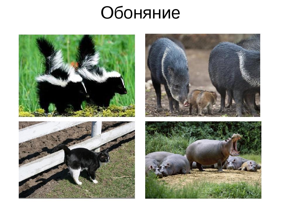 Обоняние Собаки — наиболее хорошо известные нам животные, которые метят свои...