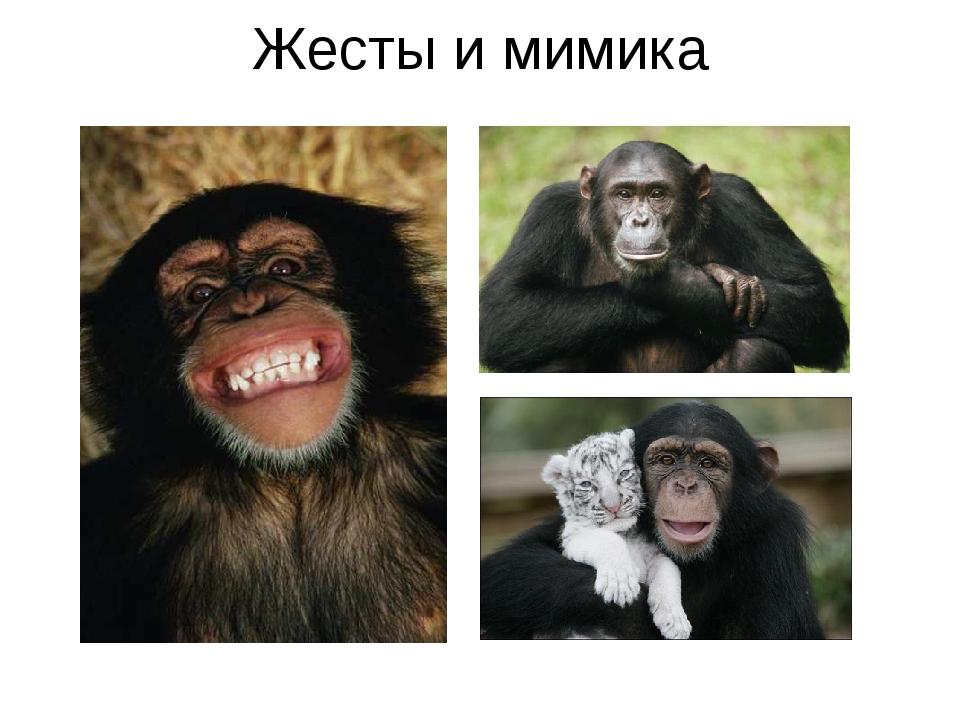 Жесты и мимика Шимпанзе используют для общения богатую мимику. Например, плот...