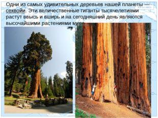 Евразия . Одни из самых удивительных деревьев нашей планеты — секвойи. Эти ве