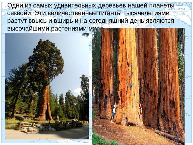 Евразия . Одни из самых удивительных деревьев нашей планеты — секвойи. Эти ве...