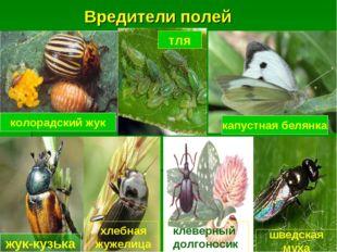 Вредители полей колорадский жук капустная белянка жук-кузька тля хлебная жуже