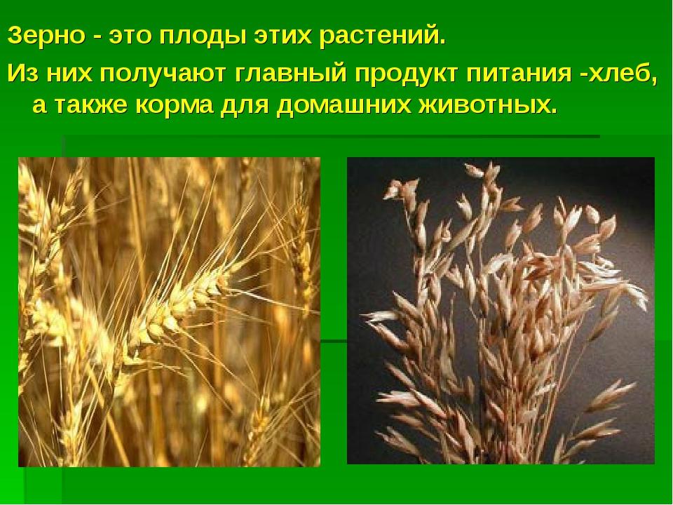 Зерно - это плоды этих растений. Из них получают главный продукт питания -хле...