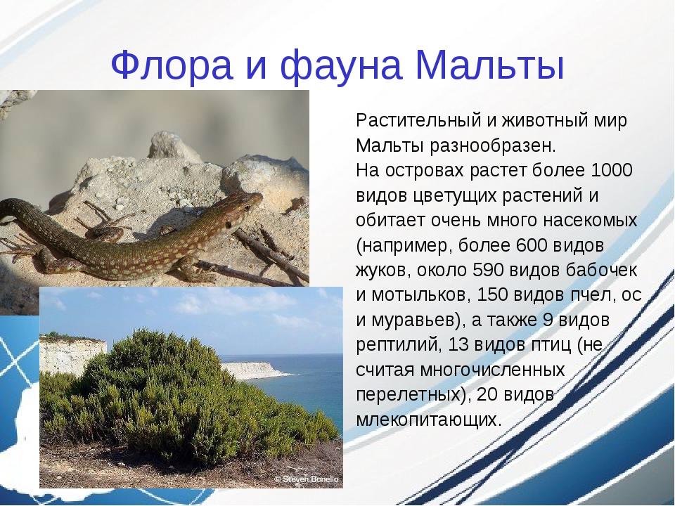 Флора и фауна Мальты Растительный и животный мир Мальты разнообразен. На остр...