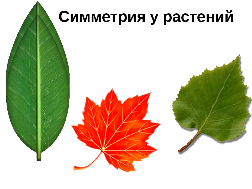 Симметрия у растений