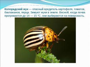 Колорадский жук— опасный вредитель картофеля, томатов, баклажанов, перца. Зи