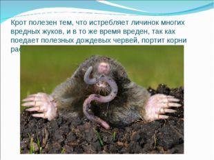 Крот полезен тем, что истребляет личинок многих вредных жуков, и в то же врем