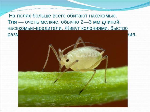 На полях больше всего обитают насекомые. Тля— очень мелкие, обычно 2—3 мм...