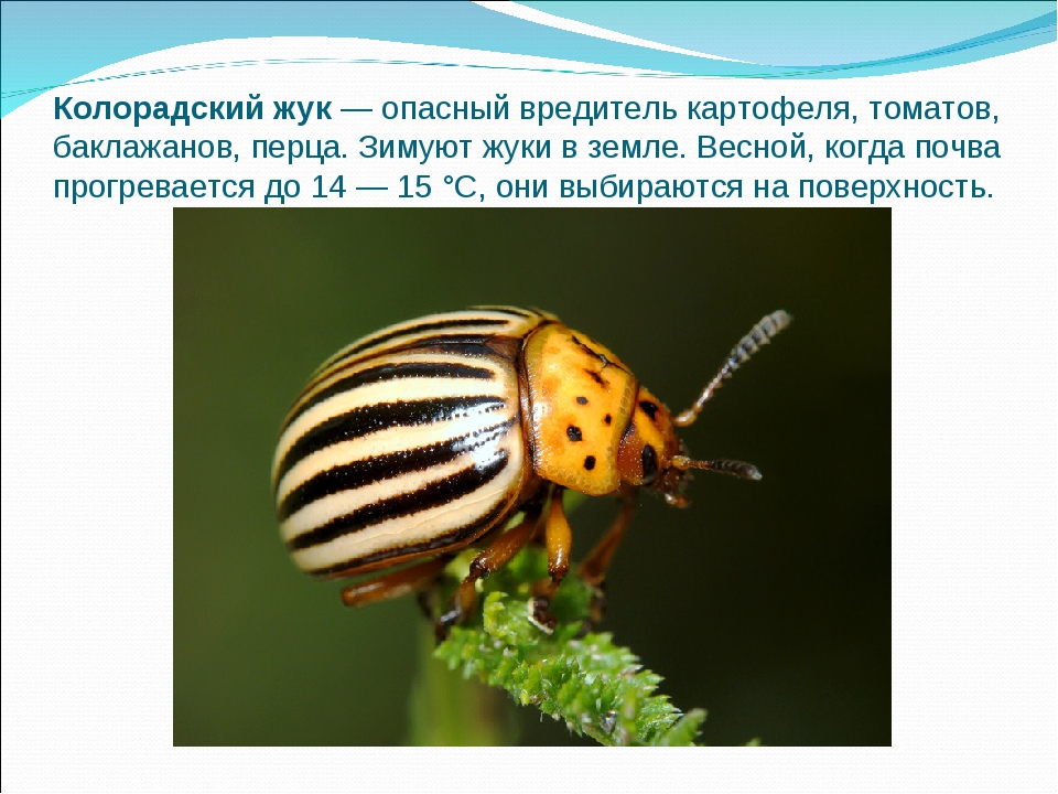 Колорадский жук— опасный вредитель картофеля, томатов, баклажанов, перца. Зи...