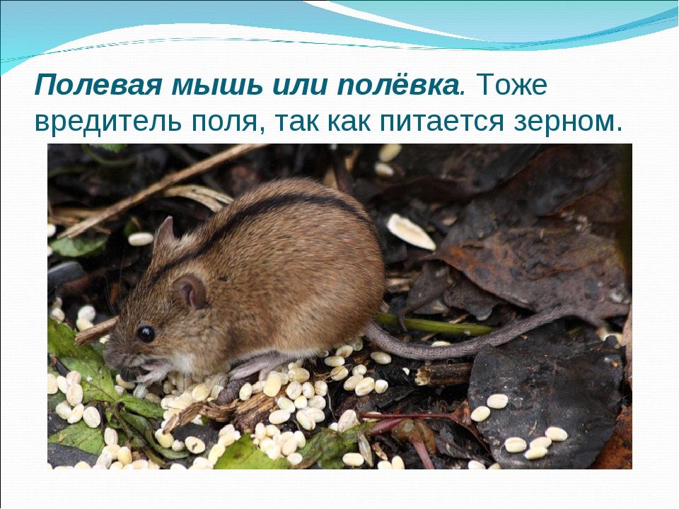 Полевая мышь или полёвка.Тоже вредитель поля, так как питается зерном.