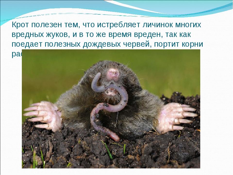Крот полезен тем, что истребляет личинок многих вредных жуков, и в то же врем...