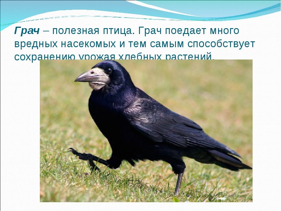Грач– полезная птица. Грач поедает много вредных насекомых и тем самым спосо...
