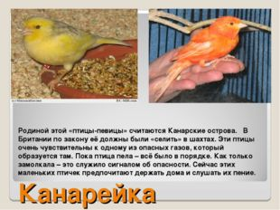 Родиной этой «птицы-певицы» считаются Канарские острова. В Британии по закону